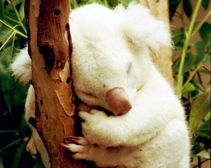 koala-albino