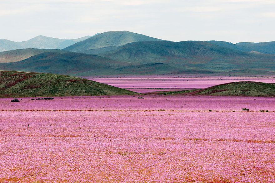 Atacama flowers bloom worlds driest desert