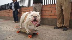 Otto the skateboarding bulldog