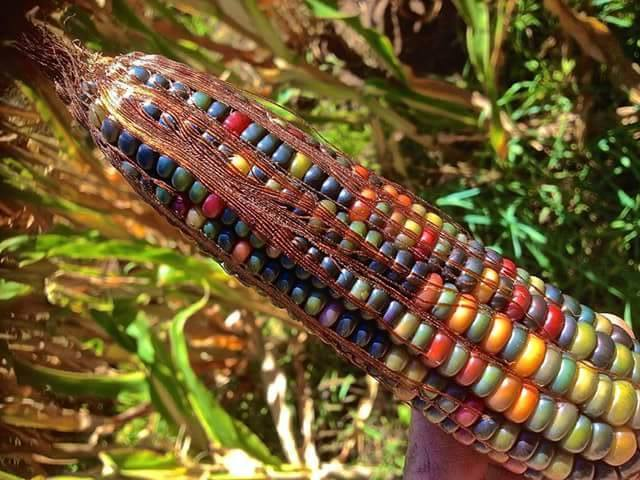 Colorful Corn - from aboriginal brazilian cultives - urban magazine - be artist be art